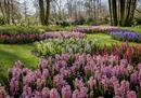 Alle porte di Amsterdam la festa dei tulipani